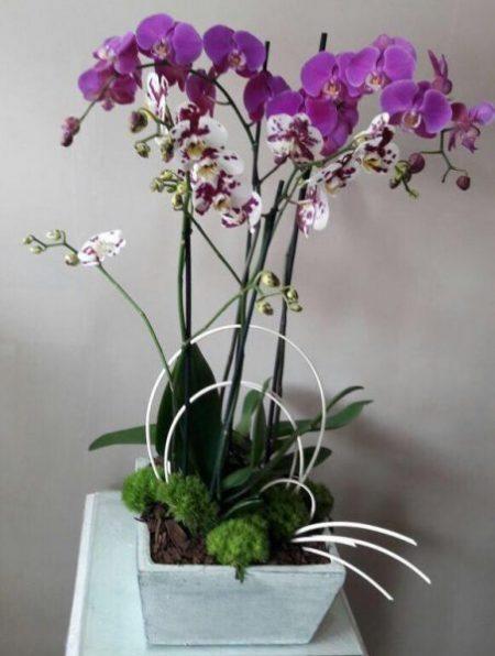 3 Orquídeas en Maceta